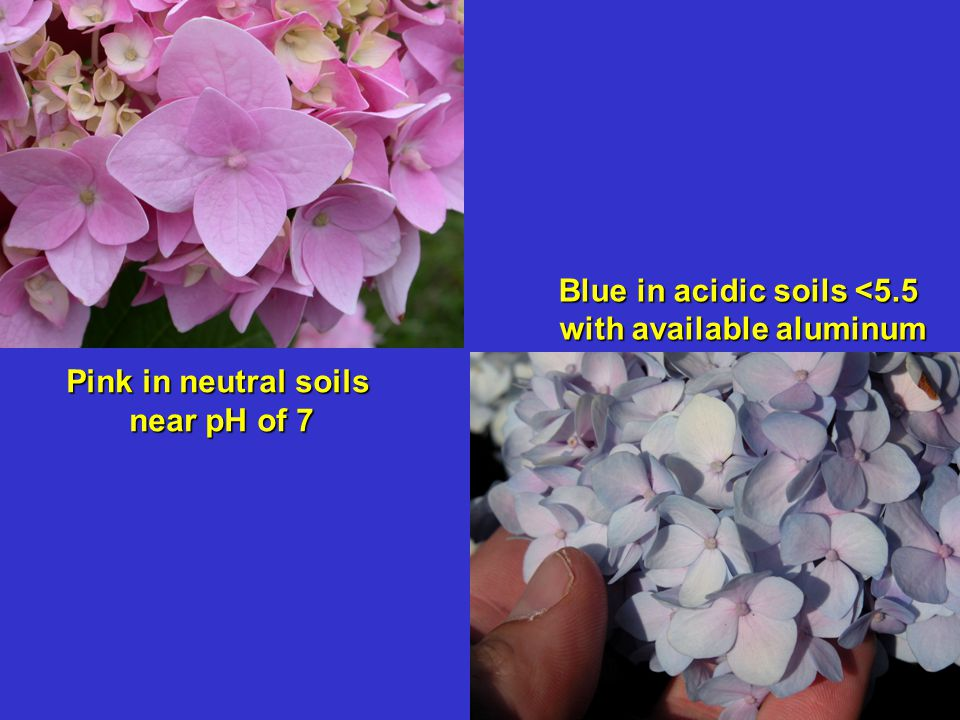 Blue in acidic soils <5.5 with available aluminum with available aluminum Pink in neutral soils near pH of 7