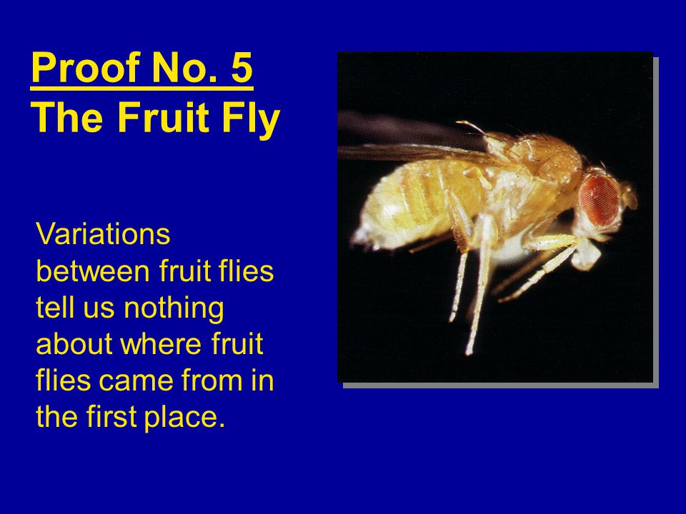 Proof No. 5 The Fruit Fly Variations between fruit flies tell us nothing about where fruit flies came from in the first place.