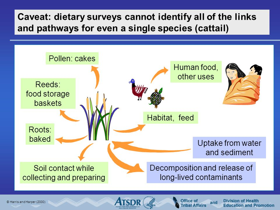 Decomposition and release of long-lived contaminants Uptake from water and sediment Human food, other uses Habitat, feed Caveat: dietary surveys cannot identify all of the links and pathways for even a single species (cattail) Reeds: food storage baskets Pollen: cakes Roots: baked Soil contact while collecting and preparing © Harris and Harper (2000)