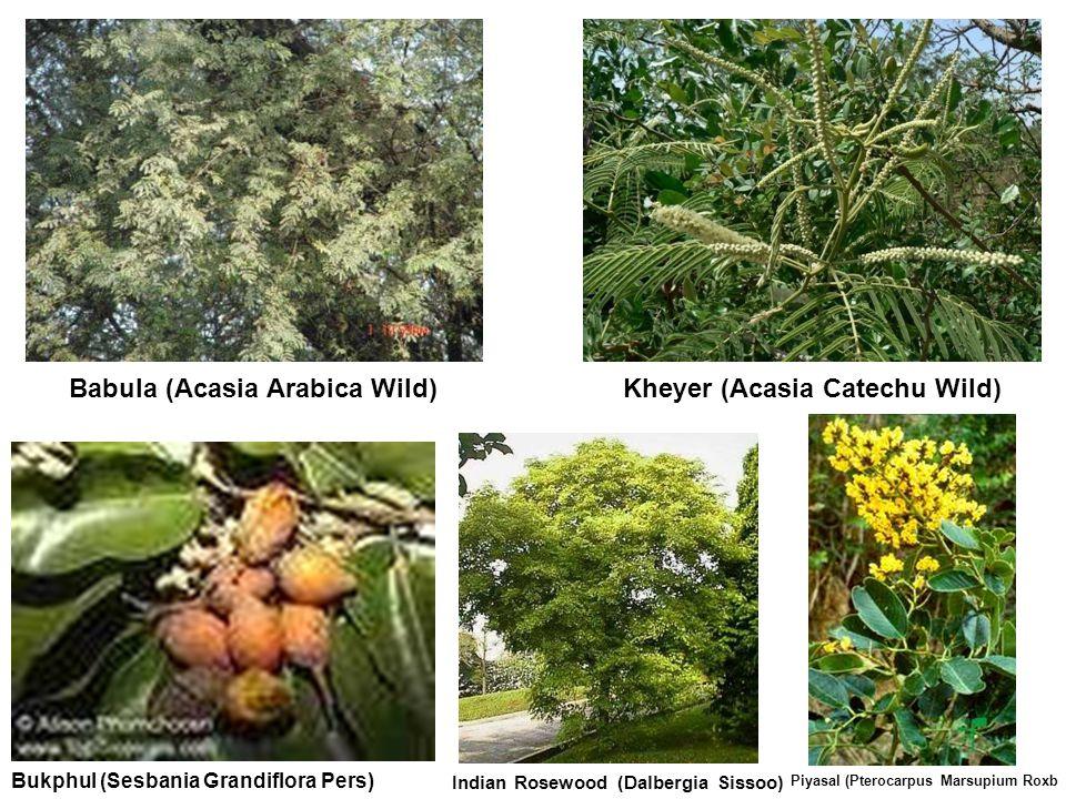 Kheyer (Acasia Catechu Wild) Bukphul (Sesbania Grandiflora Pers) Babula (Acasia Arabica Wild) Indian Rosewood (Dalbergia Sissoo) Piyasal (Pterocarpus Marsupium Roxb