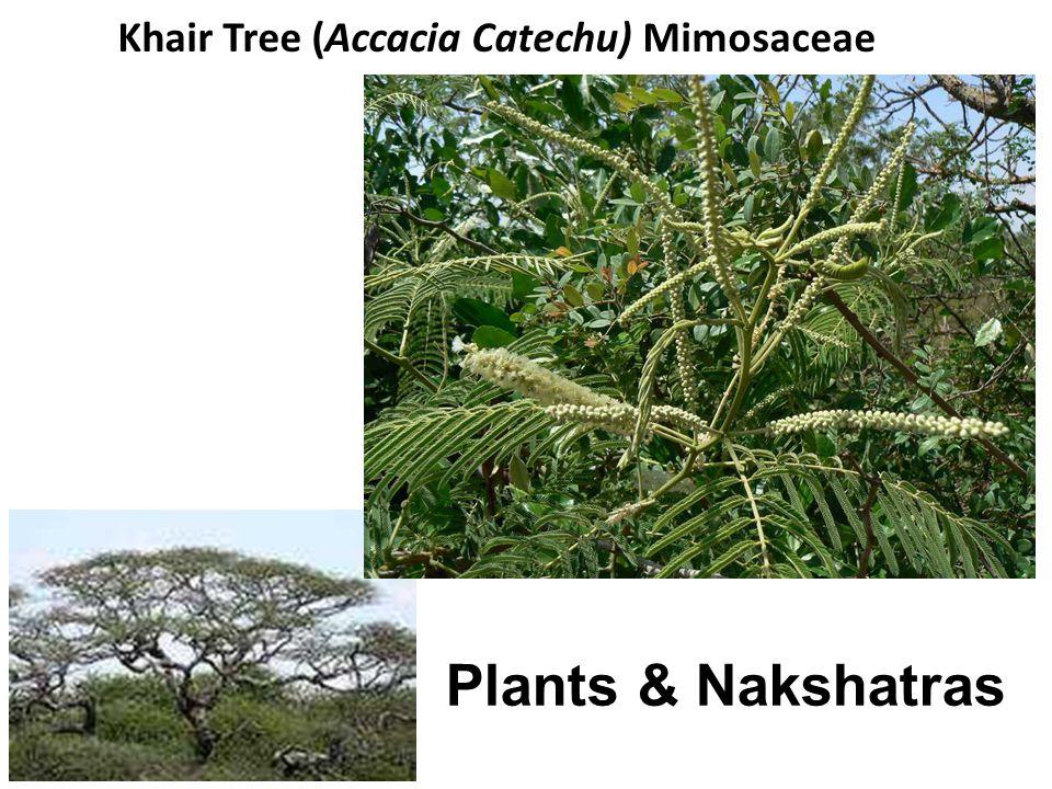 Khair Tree (Accacia Catechu) Mimosaceae Plants & Nakshatras
