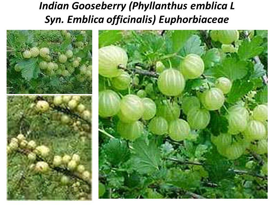 Indian Gooseberry (Phyllanthus emblica L Syn. Emblica officinalis) Euphorbiaceae