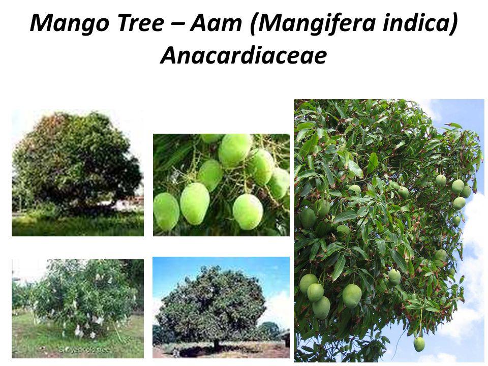 Mango Tree – Aam (Mangifera indica) Anacardiaceae