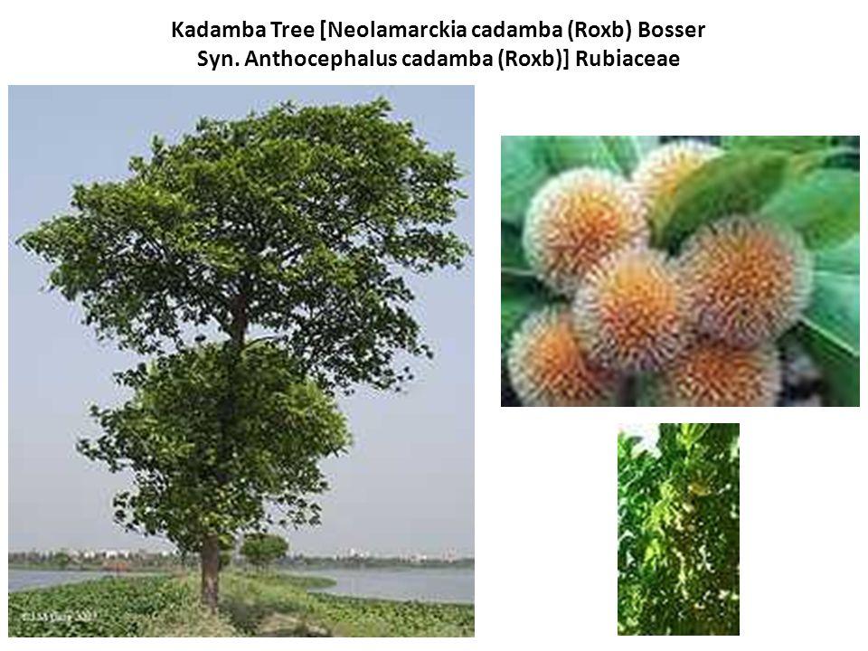 Kadamba Tree [Neolamarckia cadamba (Roxb) Bosser Syn. Anthocephalus cadamba (Roxb)] Rubiaceae