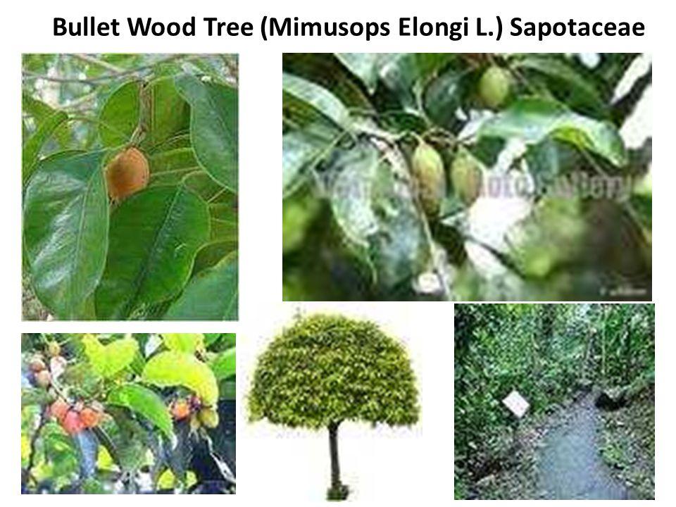 Bullet Wood Tree (Mimusops Elongi L.) Sapotaceae