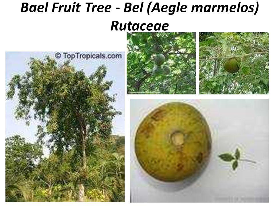 Bael Fruit Tree - Bel (Aegle marmelos) Rutaceae