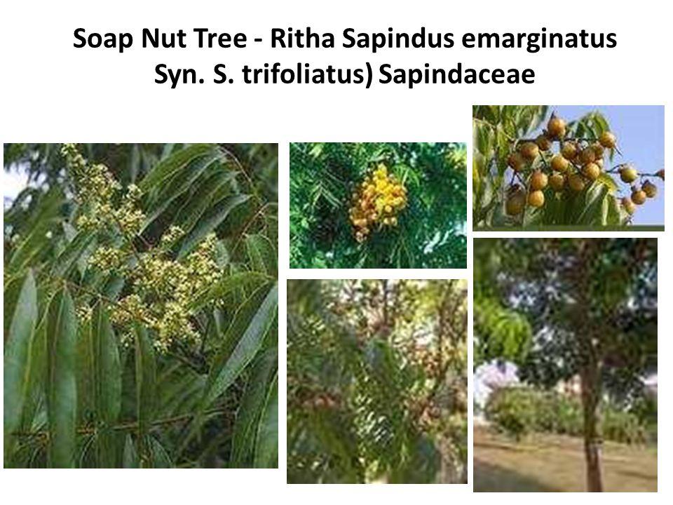 Soap Nut Tree - Ritha Sapindus emarginatus Syn. S. trifoliatus) Sapindaceae