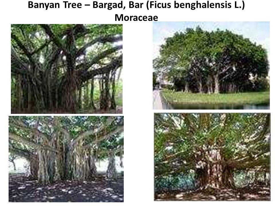 Banyan Tree – Bargad, Bar (Ficus benghalensis L.) Moraceae