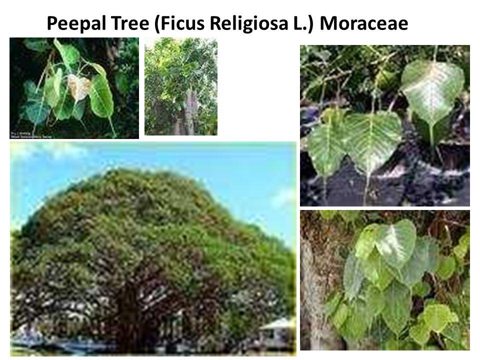 Peepal Tree (Ficus Religiosa L.) Moraceae