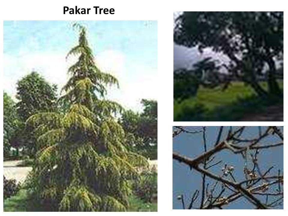 Pakar Tree