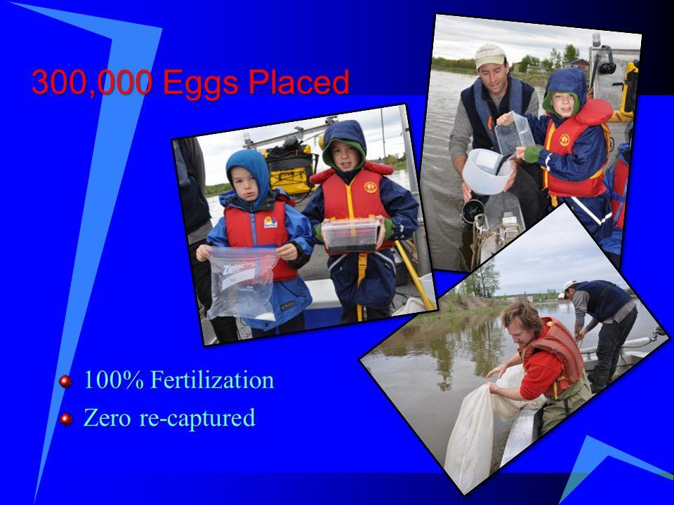 300,000 Eggs Placed 100% Fertilization Zero re-captured