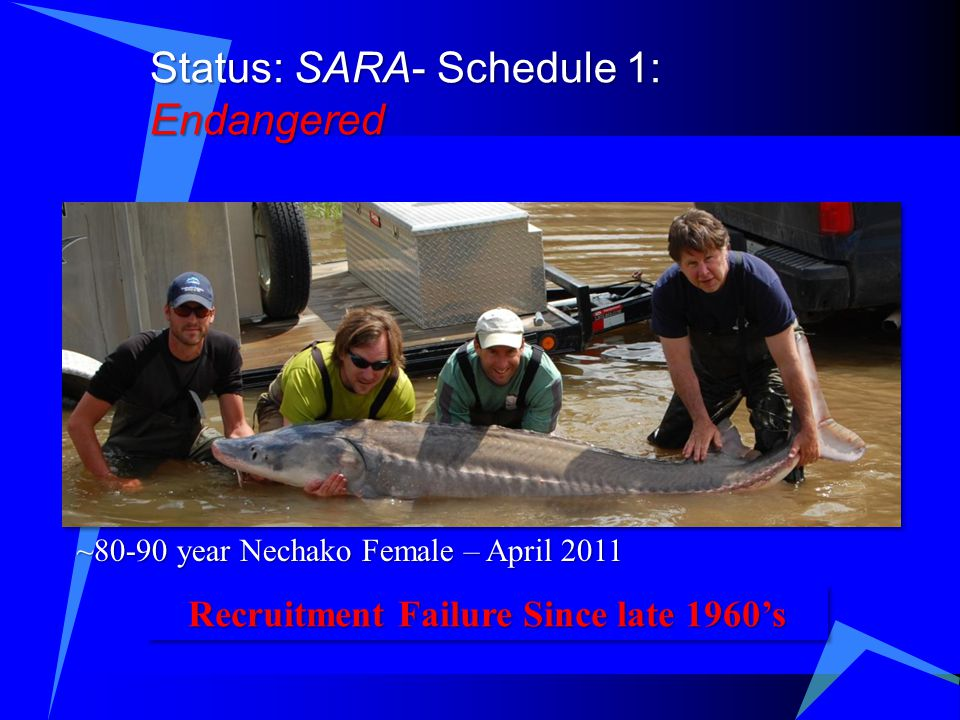 Status: SARA- Schedule 1: Endangered ~80-90 year Nechako Female – April 2011 Recruitment Failure Since late 1960's