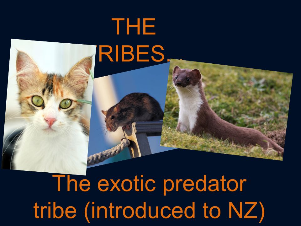 THE TRIBES... The exotic predator tribe (introduced to NZ)