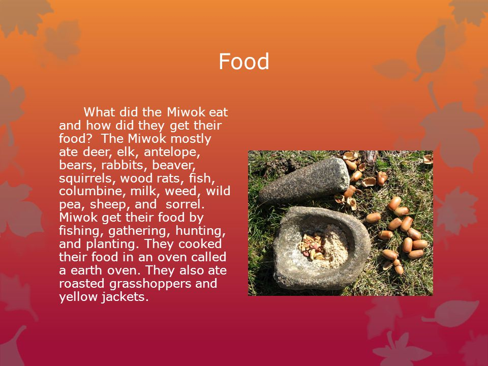 Food What did the Miwok eat and how did they get their food? The Miwok mostly ate deer, elk, antelope, bears, rabbits, beaver, squirrels, wood rats, f