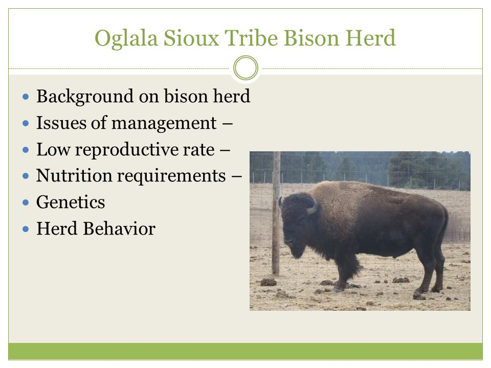 Oglala Sioux Tribe Bison Herd Background on bison herd Issues of management – Low reproductive rate – Nutrition requirements – Genetics Herd Behavior