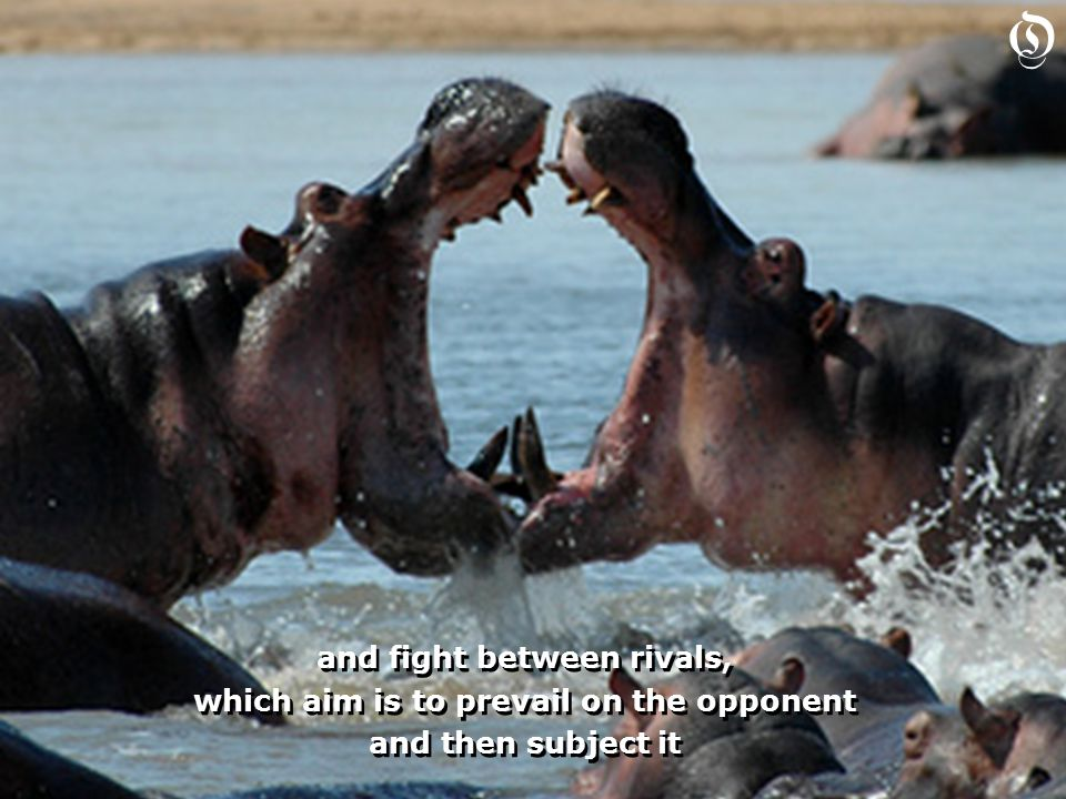 and fight between rivals, which aim is to prevail on the opponent and then subject it and fight between rivals, which aim is to prevail on the opponent and then subject it O