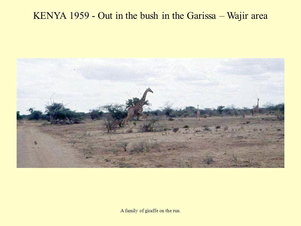 KENYA 1959 - Out in the bush in the Garissa – Wajir area A family of giraffe on the run.