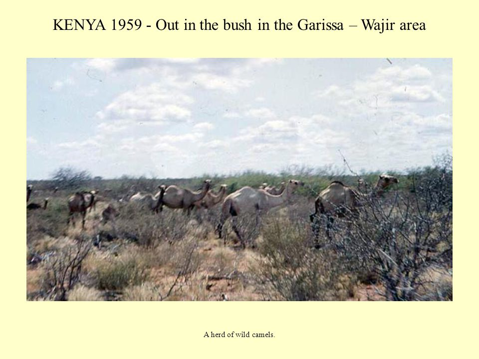 KENYA 1959 - Out in the bush in the Garissa – Wajir area A herd of wild camels.