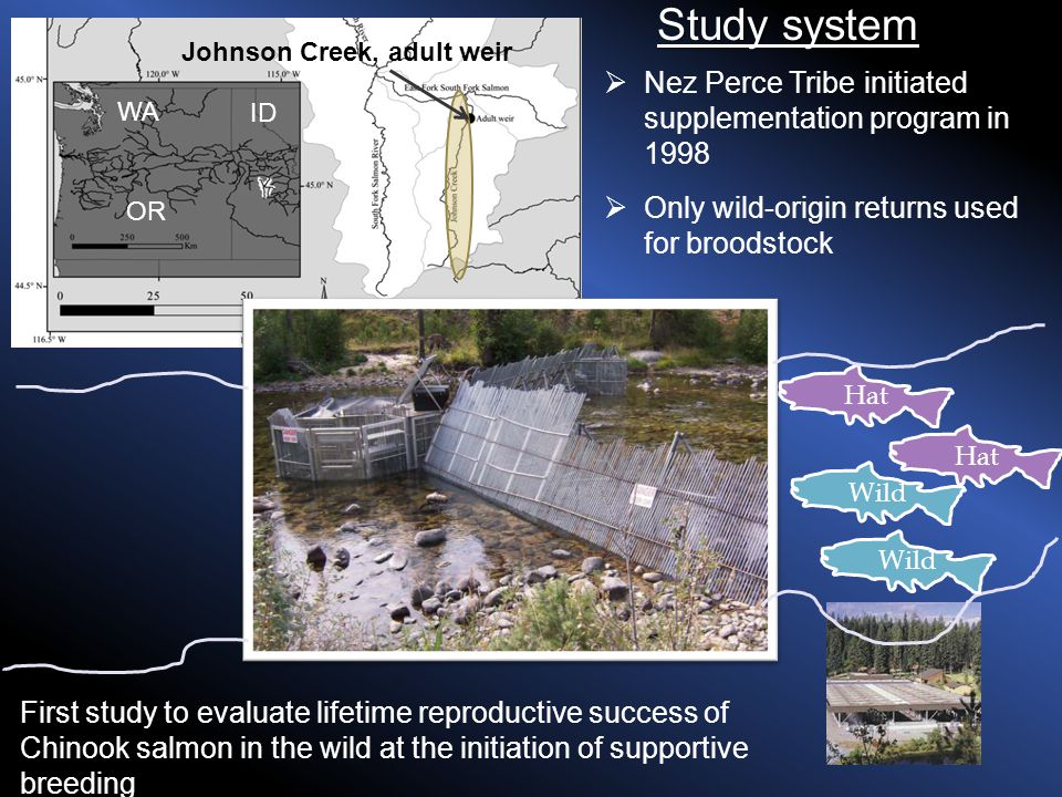 WA OR ID Johnson Creek, adult weir  Nez Perce Tribe initiated supplementation program in 1998 Study system Wild Hat Wild Hat  Only wild-origin returns used for broodstock First study to evaluate lifetime reproductive success of Chinook salmon in the wild at the initiation of supportive breeding