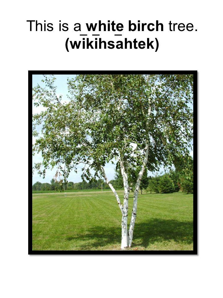 This is a white birch tree. (wikihsahtek) ___