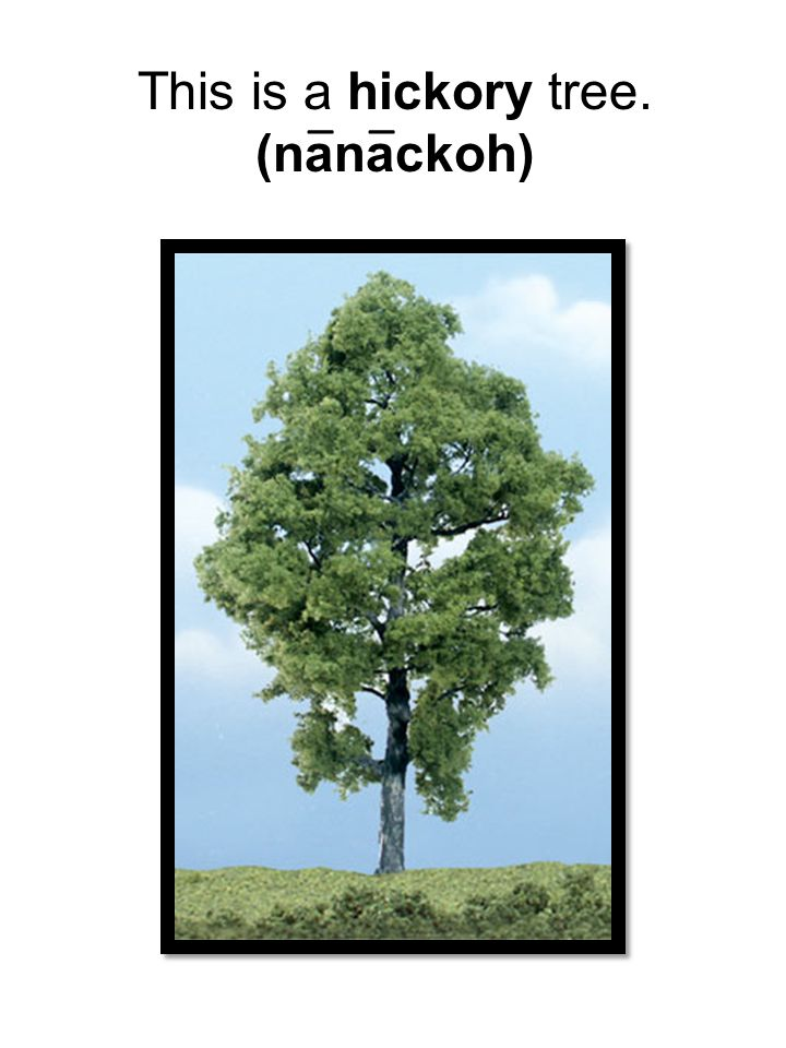 This is a hickory tree. (nanackoh) __