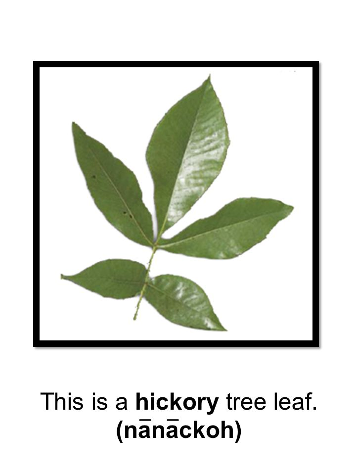 This is a hickory tree leaf. (nanackoh) __