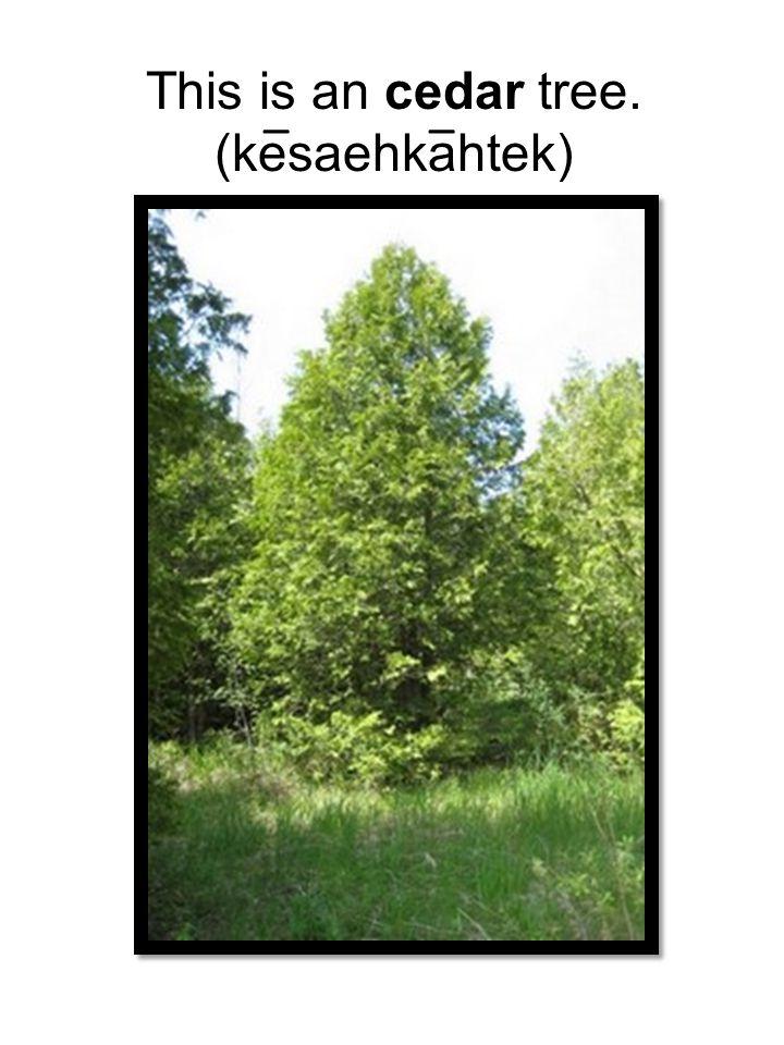 This is an cedar tree. (kesaehkahtek) __