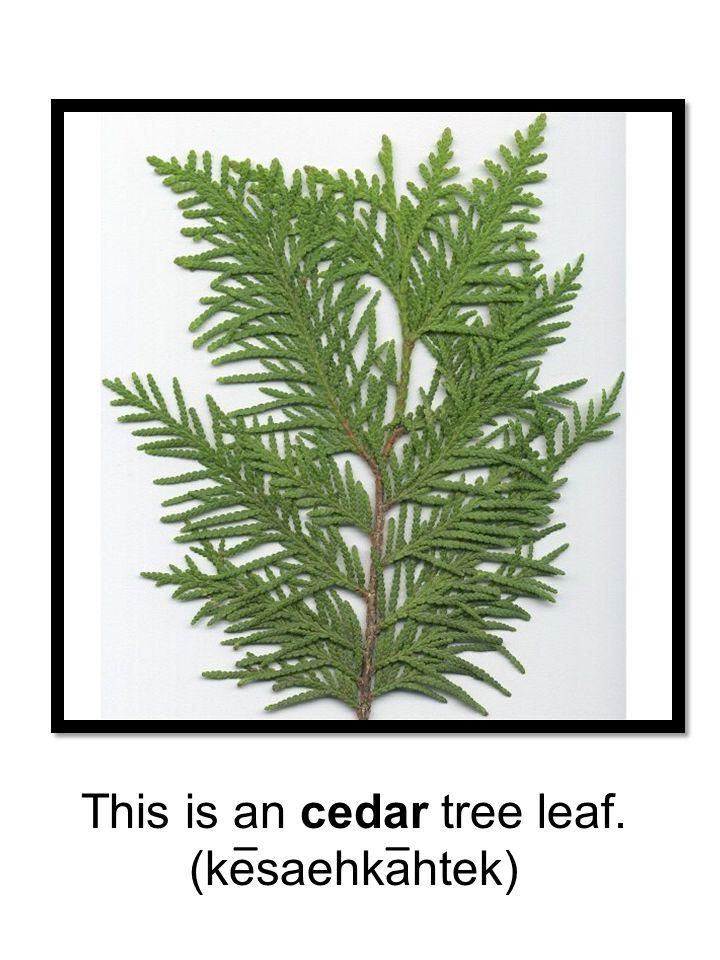 This is an cedar tree leaf. (kesaehkahtek) __