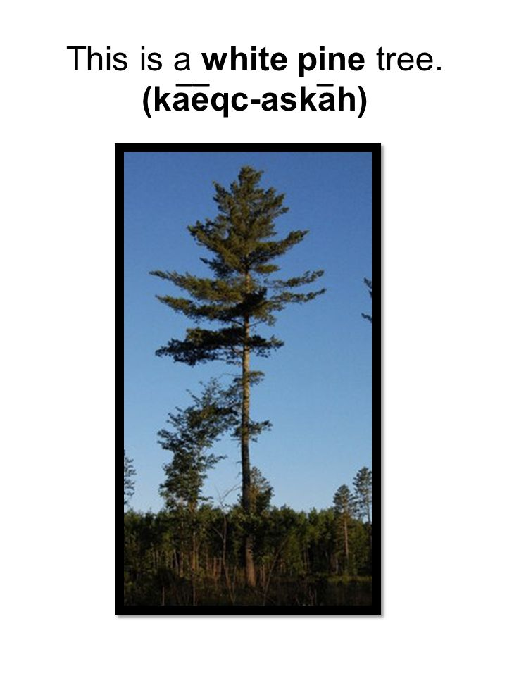 This is a white pine tree. (kaeqc-askah) ___