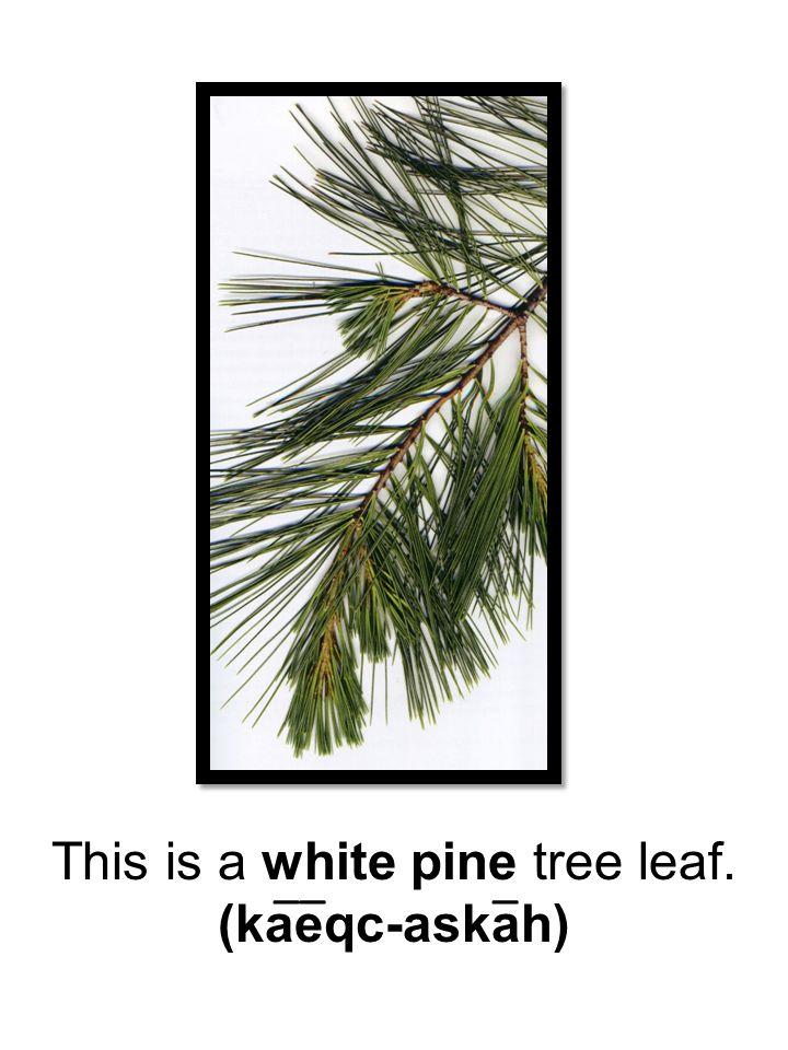 This is a white pine tree leaf. (kaeqc-askah) ___