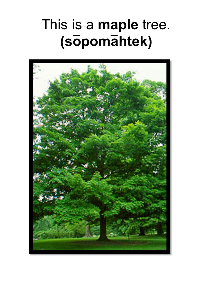 This is a maple tree. (sopomahtek) __