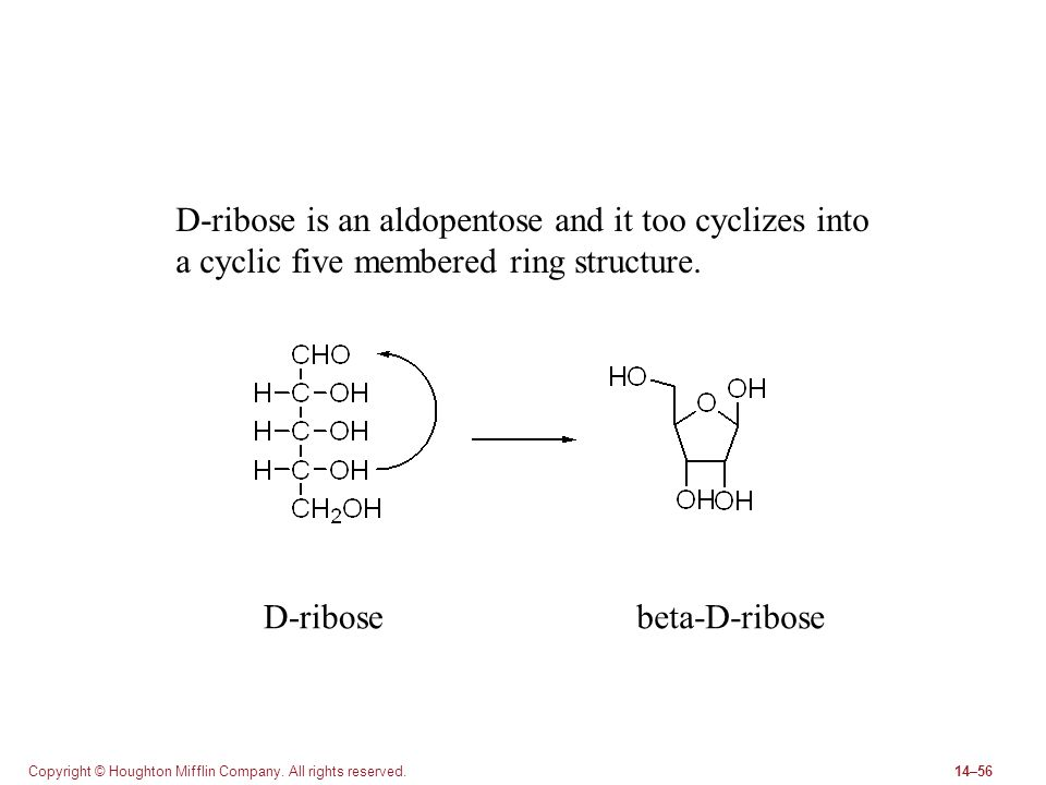 Copyright © Houghton Mifflin Company. All rights reserved.14–56 D-ribose is an aldopentose and it too cyclizes into a cyclic five membered ring struct