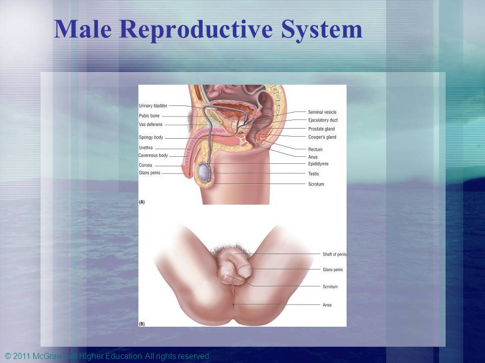 © 2011 McGraw-Hill Higher Education. All rights reserved. Male Reproductive System