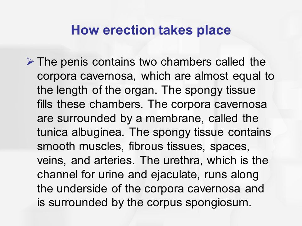 How erection takes place  The penis contains two chambers called the corpora cavernosa, which are almost equal to the length of the organ.