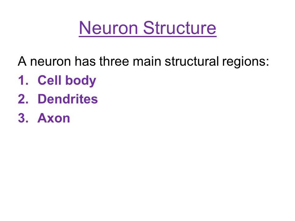 Neuron Structure A neuron has three main structural regions: 1.Cell body 2.Dendrites 3.Axon