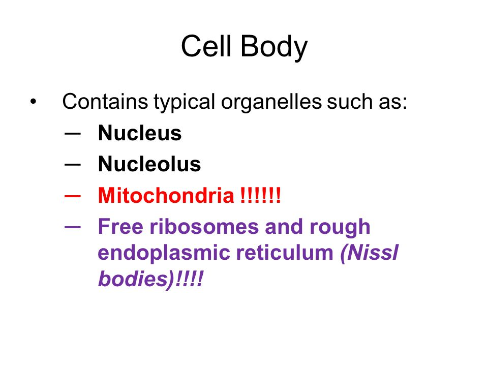 Cell Body Contains typical organelles such as: ─Nucleus ─Nucleolus ─Mitochondria !!!!!! ─Free ribosomes and rough endoplasmic reticulum (Nissl bodies)
