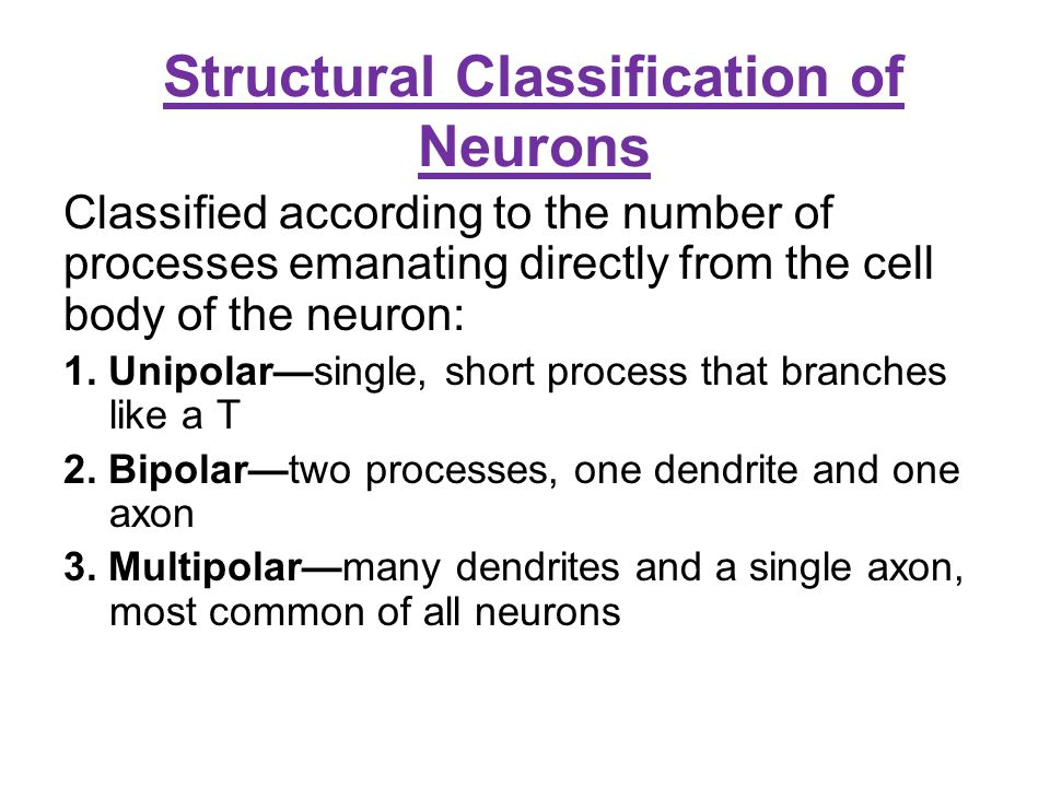 Structural Classification of Neurons Classified according to the number of processes emanating directly from the cell body of the neuron: 1. Unipolar—
