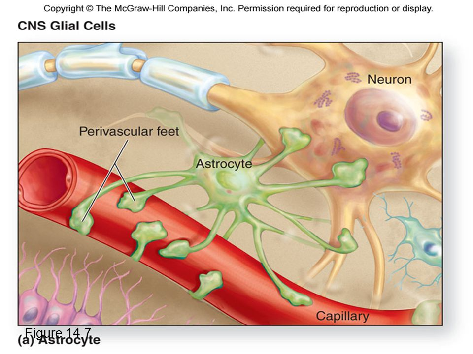 Astrocytes Figure 14.7