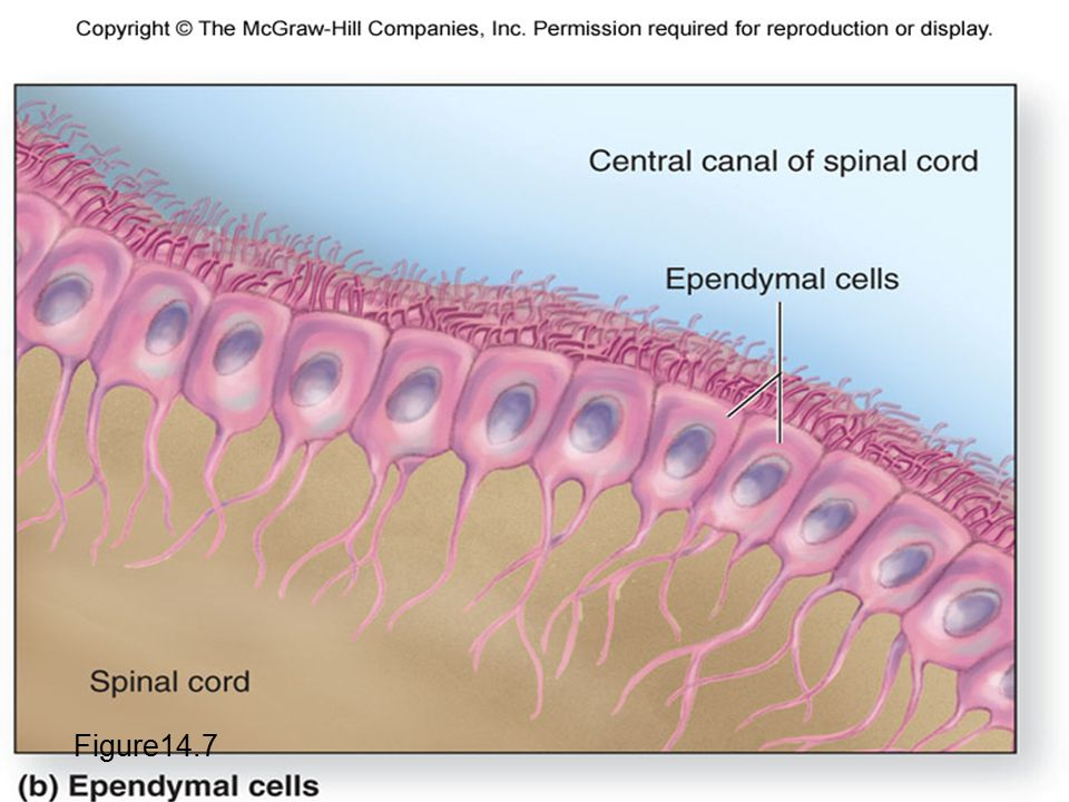 Ependymal Cells Figure14.7