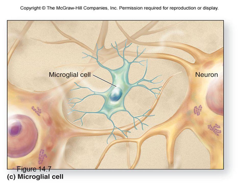 Microglial Cells Figure 14.7