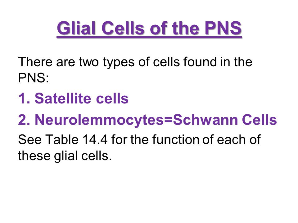 Glial Cells of the PNS There are two types of cells found in the PNS: 1. Satellite cells 2. Neurolemmocytes=Schwann Cells See Table 14.4 for the funct