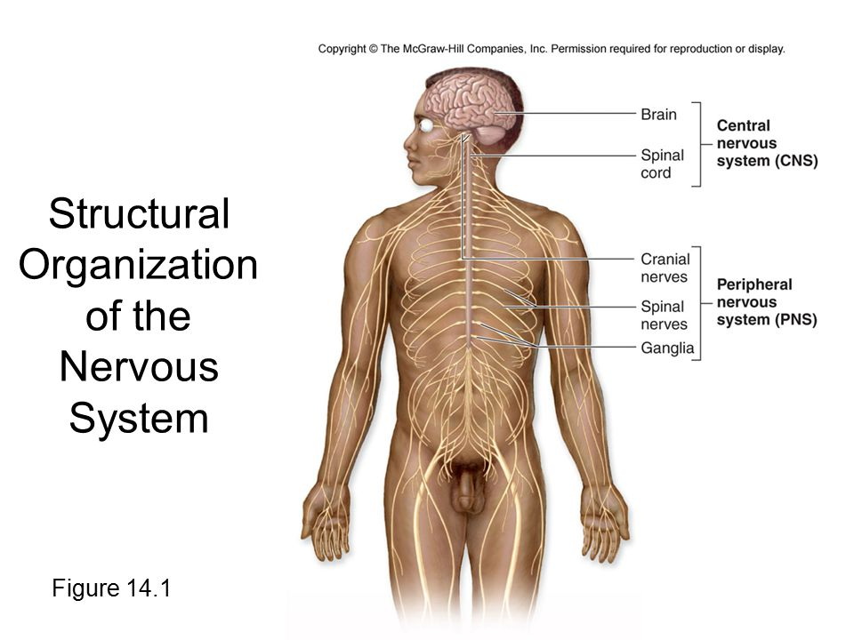Functional Organization of the Nervous System The CNS and PNS perform three general functions: 1.