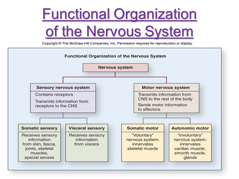 Sensory Nervous System Sensory nervous system (afferent) receives sensory information from receptors in the PNS and transmits it to the CNS Subdivided into two systems: 1.Somatic sensory (voluntary)—touch, pain, pressure, vibration, and proprioception 2.Visceral sensory (involuntary)—impulses from viscera
