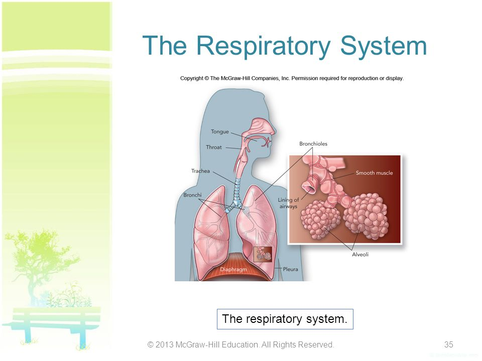 The Respiratory System © 2013 McGraw-Hill Education. All Rights Reserved.35 The respiratory system.