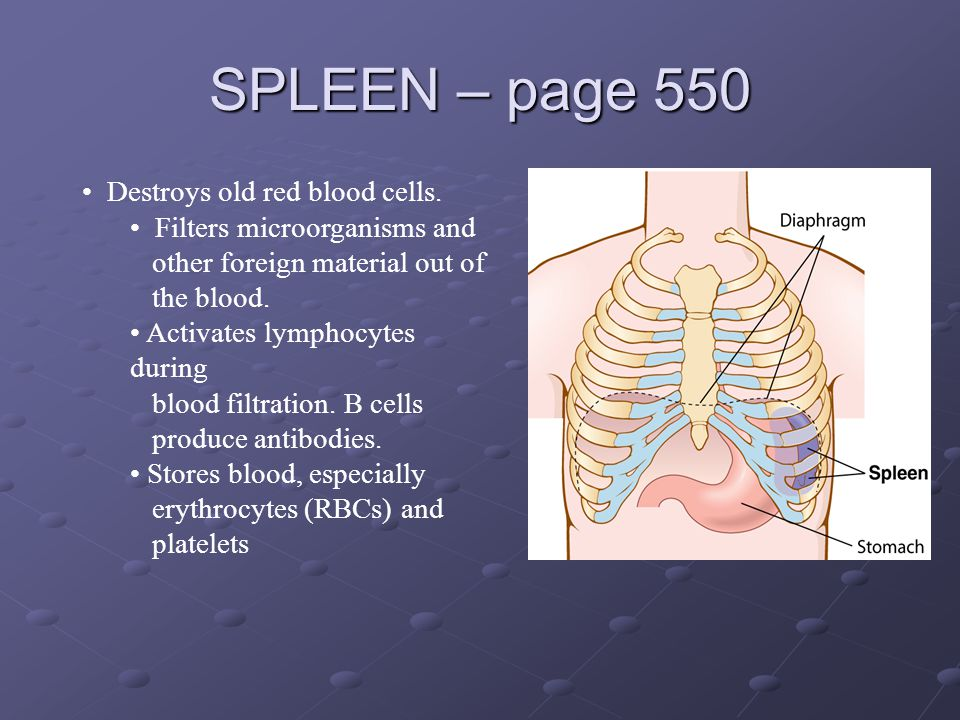 SPLEEN – page 550 Destroys old red blood cells. Filters microorganisms and other foreign material out of the blood. Activates lymphocytes during blood