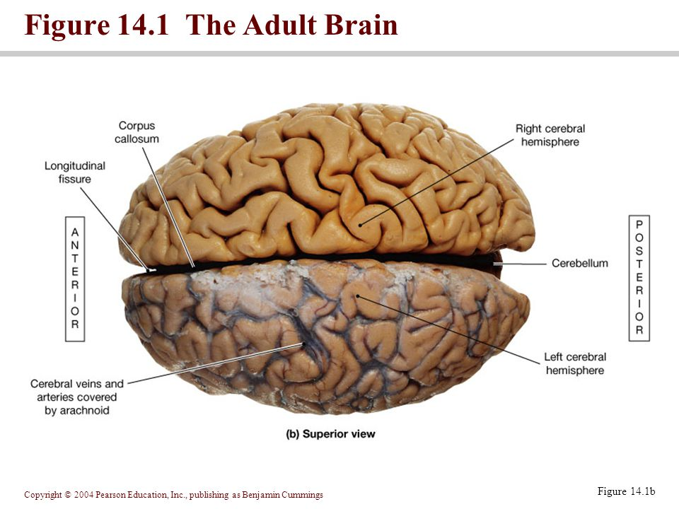 Copyright © 2004 Pearson Education, Inc., publishing as Benjamin Cummings Figure 14.1 The Adult Brain Figure 14.1b