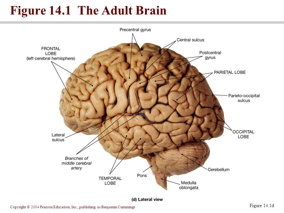 Copyright © 2004 Pearson Education, Inc., publishing as Benjamin Cummings Figure 14.1 The Adult Brain Figure 14.1d