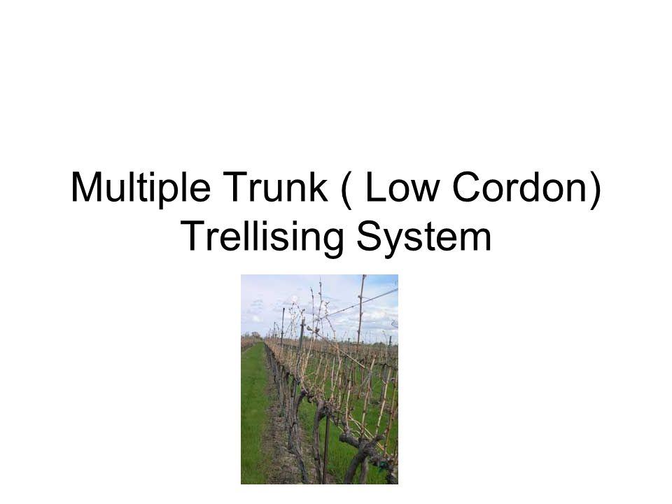 Multiple Trunk ( Low Cordon) Trellising System