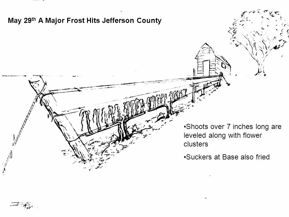 May 29 th A Major Frost Hits Jefferson County Shoots over 7 inches long are leveled along with flower clusters Suckers at Base also fried
