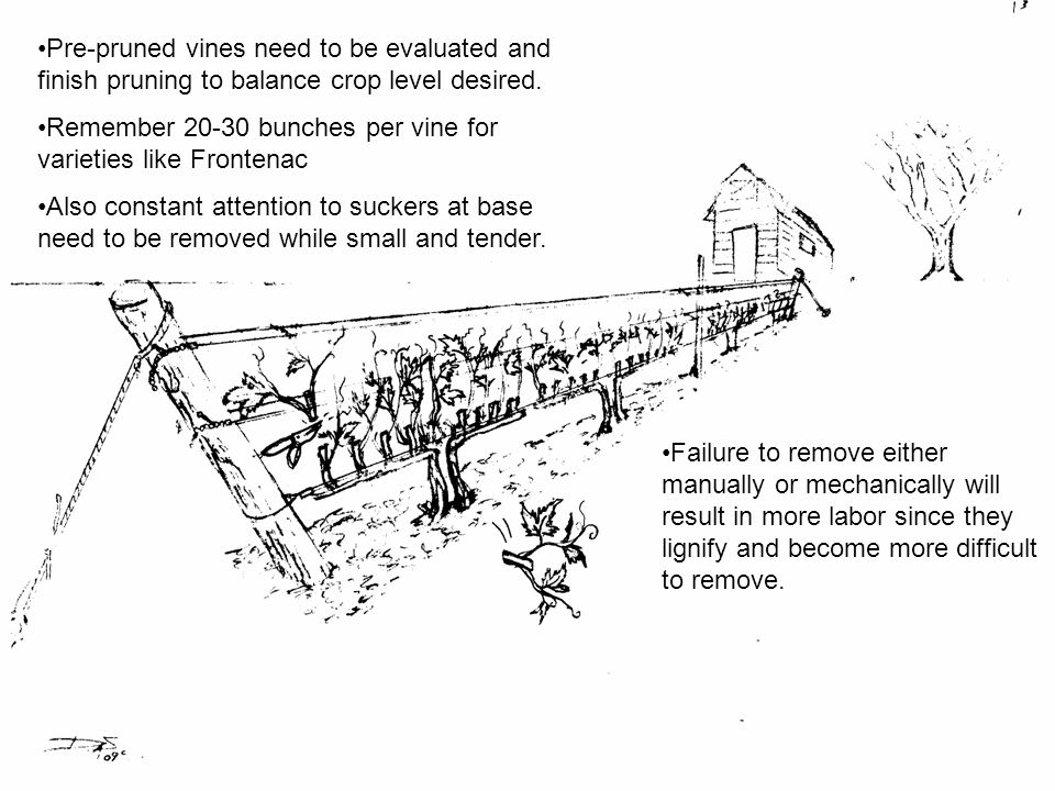 Pre-pruned vines need to be evaluated and finish pruning to balance crop level desired.